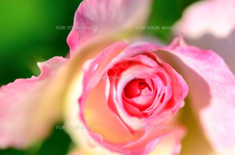 薄桃色の薔薇のクローズアップの素材 [FYI00385144]