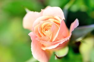 薄いオレンジ色の薔薇の素材 [FYI00385148]