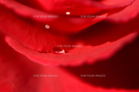 赤い薔薇の花びらの水滴の素材 [FYI00385149]