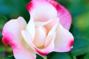 白と赤の薔薇の素材 [FYI00385150]