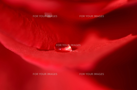 赤い薔薇の花びらの水滴の素材 [FYI00385152]