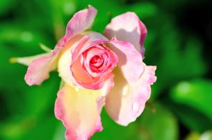 薄桃色の薔薇のクローズアップの素材 [FYI00385155]