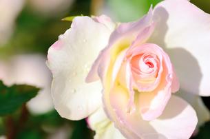 薄桃色の薔薇のクローズアップの素材 [FYI00385156]