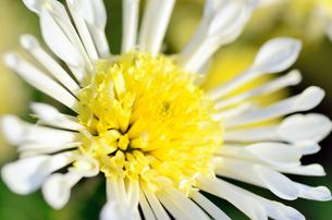 白と黄色のスプレー菊の素材 [FYI00385158]