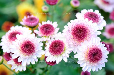 白と紫色のスプレー菊の素材 [FYI00385162]