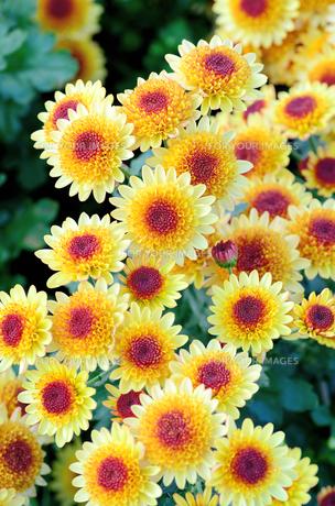 黄色と紫色のスプレー菊の素材 [FYI00385163]