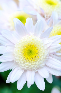 白と黄色のスプレー菊の素材 [FYI00385164]