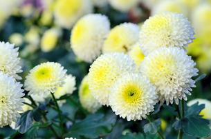 白と黄色のスプレー菊の素材 [FYI00385167]