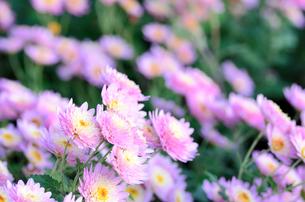 薄紫色のスプレー菊の素材 [FYI00385174]