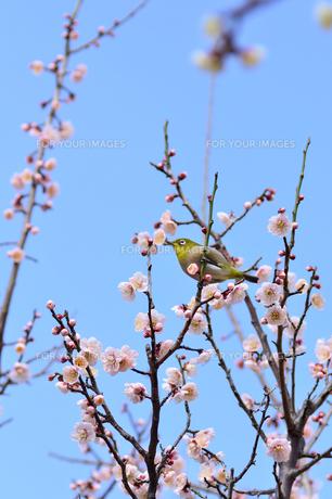 目白と梅の花の素材 [FYI00385268]