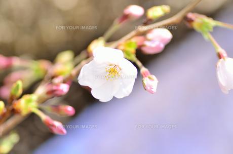 桜の花のクローズアップの素材 [FYI00385321]