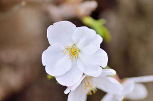 桜の花のクローズアップの素材 [FYI00385327]