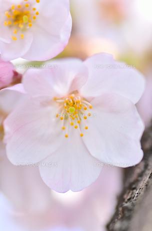 桜の花のクローズアップの素材 [FYI00385334]