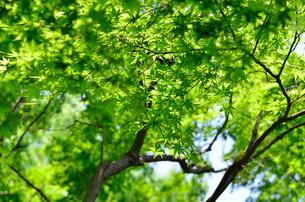 初夏の新緑 もみじの素材 [FYI00385385]