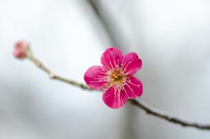 早春 梅の花 桃色の素材 [FYI00386024]