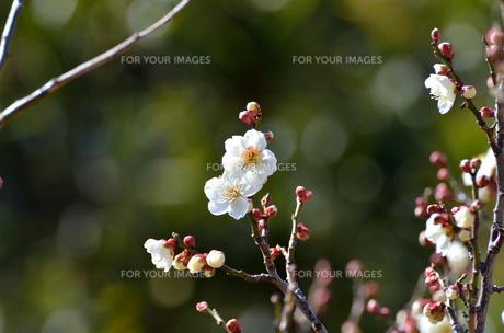 早春 梅の花 白色の素材 [FYI00386029]