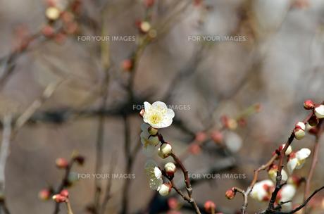 早春 梅の花 白色の素材 [FYI00386031]