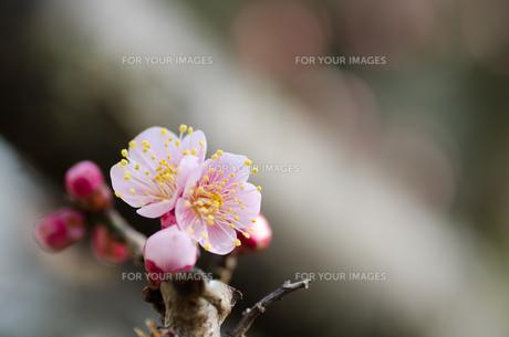 早春 梅の花 桃色の素材 [FYI00386036]
