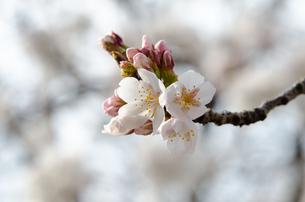桜の花の素材 [FYI00386098]