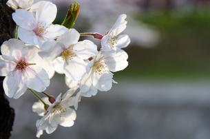 桜の花の素材 [FYI00386101]
