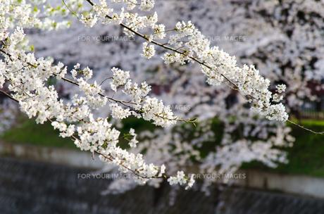 桜の花の素材 [FYI00386106]