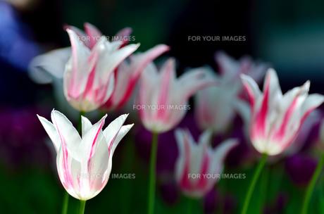 春の花壇 チューリップ 白色と桃色の素材 [FYI00386122]