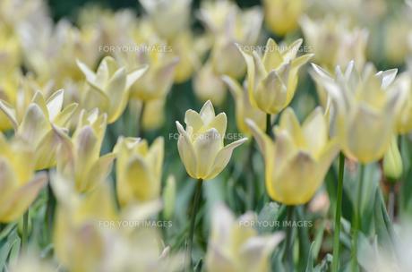 春の花壇 チューリップ クリーム色とピンク色の素材 [FYI00386123]