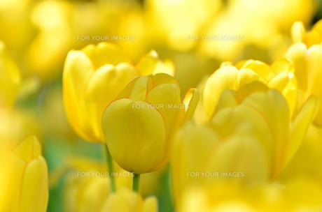 春の花壇 チューリップ 黄色の素材 [FYI00386130]