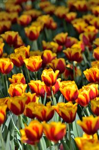 春の花壇 チューリップ 黄色と赤色の素材 [FYI00386137]