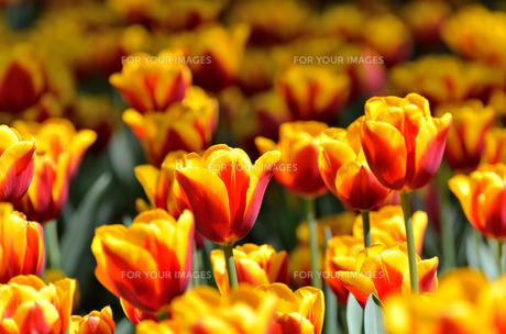 春の花壇 チューリップ 黄色と赤色の素材 [FYI00386142]