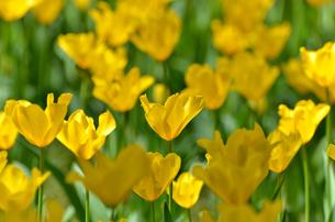 春の花壇 チューリップ 黄色の素材 [FYI00386144]