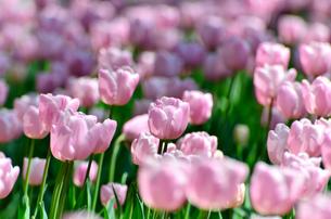 春の花壇 チューリップ 桃色の素材 [FYI00386149]