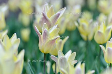 春の花壇 チューリップ クリーム色とピンク色の素材 [FYI00386150]