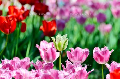 春の花壇 チューリップ 白色と緑色の素材 [FYI00386151]