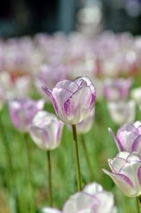 春の花壇 チューリップ 白色と紫色の素材 [FYI00386156]