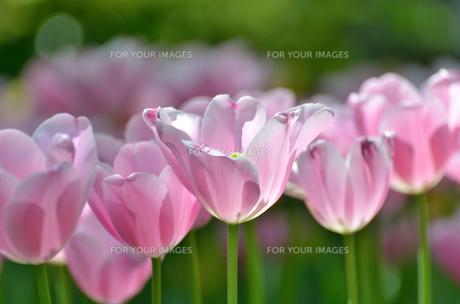 春の花壇 チューリップ 白色と桃色の素材 [FYI00386163]