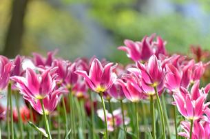 春の花壇 チューリップ 白色と桃色の素材 [FYI00386170]