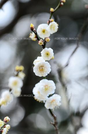 梅の花 白色の素材 [FYI00386457]