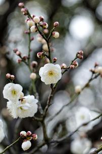 梅の花 白色の素材 [FYI00386458]