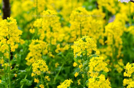 菜の花の素材 [FYI00386488]