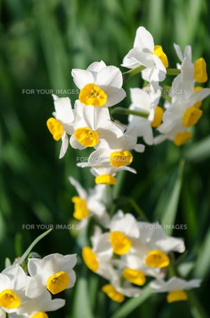 白い水仙の素材 [FYI00386489]