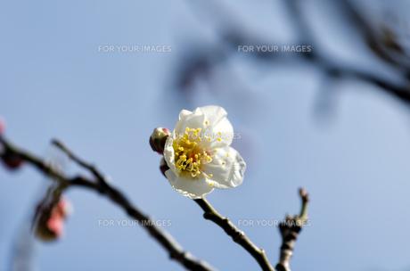 梅の花の素材 [FYI00386512]