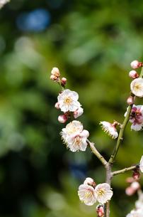 梅の花の素材 [FYI00386523]