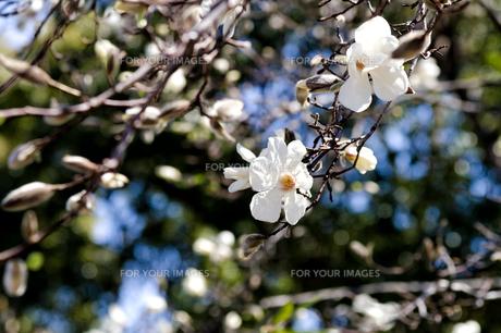 コブシの花の素材 [FYI00386524]