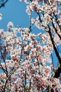 桜の花の素材 [FYI00386539]