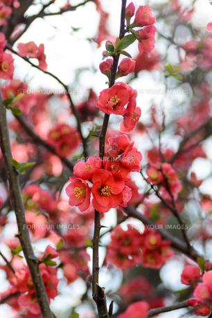 木瓜の花の素材 [FYI00386543]