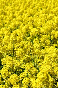 菜の花の素材 [FYI00386550]