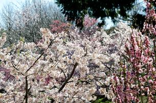 桜の花の素材 [FYI00386555]