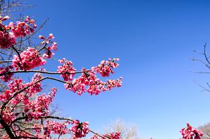 寒緋桜の素材 [FYI00386616]
