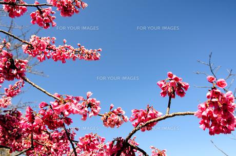寒緋桜の素材 [FYI00386618]